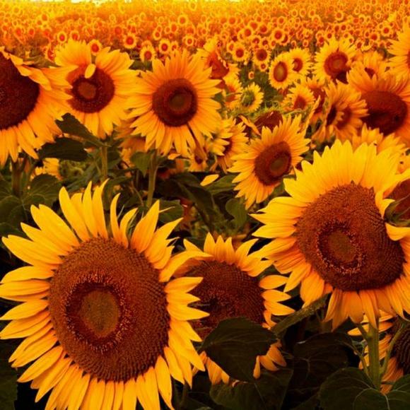 sunflowers84